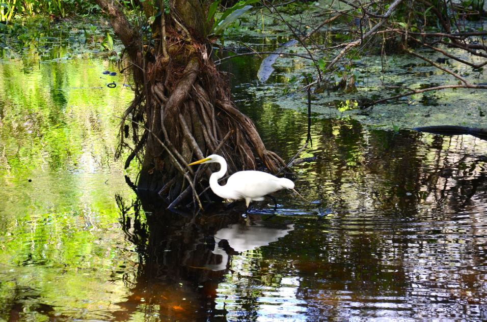 Birds in Corkscrew Swamp Sanctuary in Naples Florida