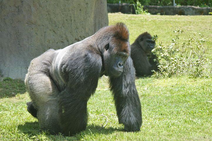 Exploring the Miami Zoo with gorillas