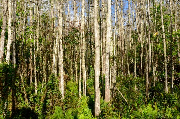 Woods at Corkscrew Swamp Sanctuary in Naples Florida.