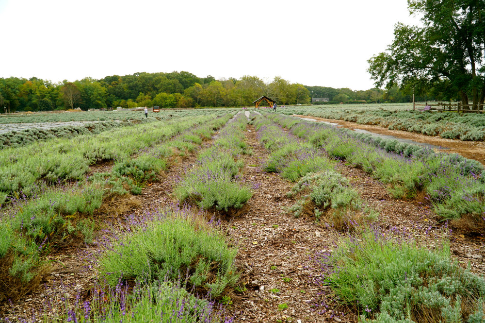 Lavender by the Bay farm in the North Fork, Long Island.