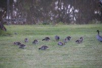 Growing Ducklings