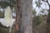 Cockatoo landing on a tree