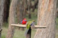 Green-back-of-young-Crimson-Rosella-on-bird-feeder