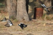 Australian-wood-duck-being-chased-by-australian-magpie-both-birds-in-flight