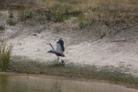 White-Faced-Heron-showing-outstretched-wings