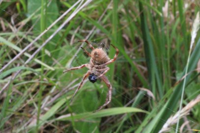 Sequence-orb-weaving-spider-wrapping-butterfly-in-web