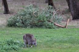 kangaroo-grazes-in-front-of-fallen-branch