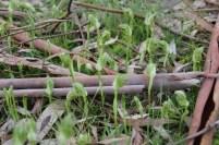 Blunt-Greenhood-Patch