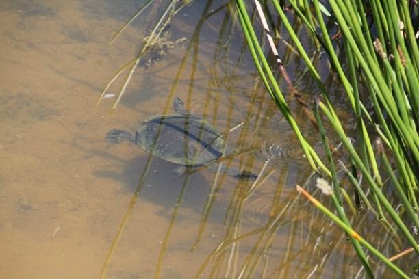 turtle-swimming-beneath-water