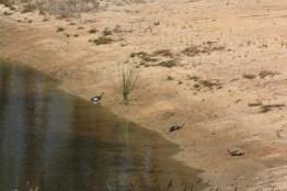 long-necked-turtles-sun-baking-on-sand