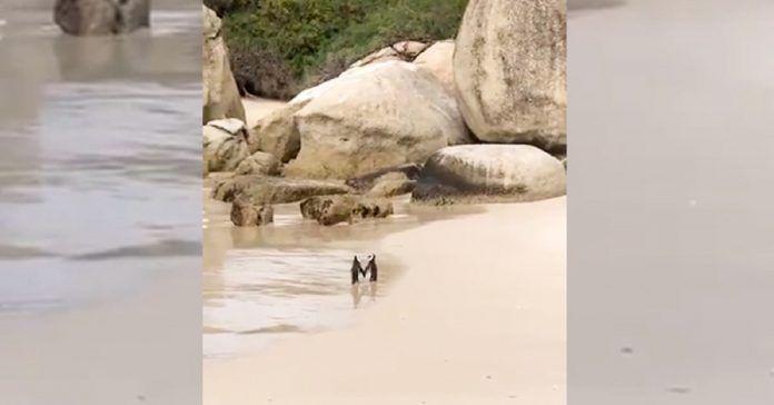 FIFY STORE [Vidéo] Deux manchots se tiennent « la main » comme un couple d'amoureux sur la plage.