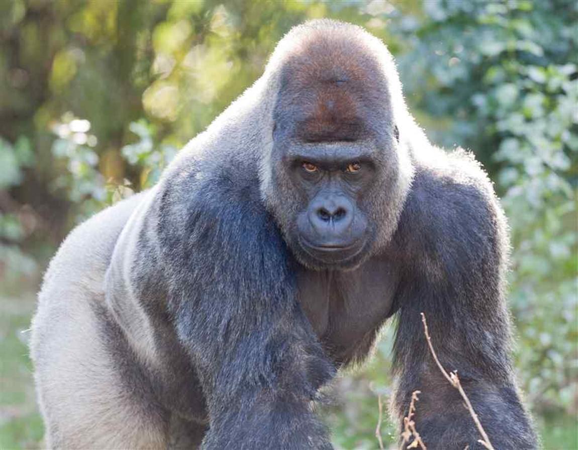Gorilla Client