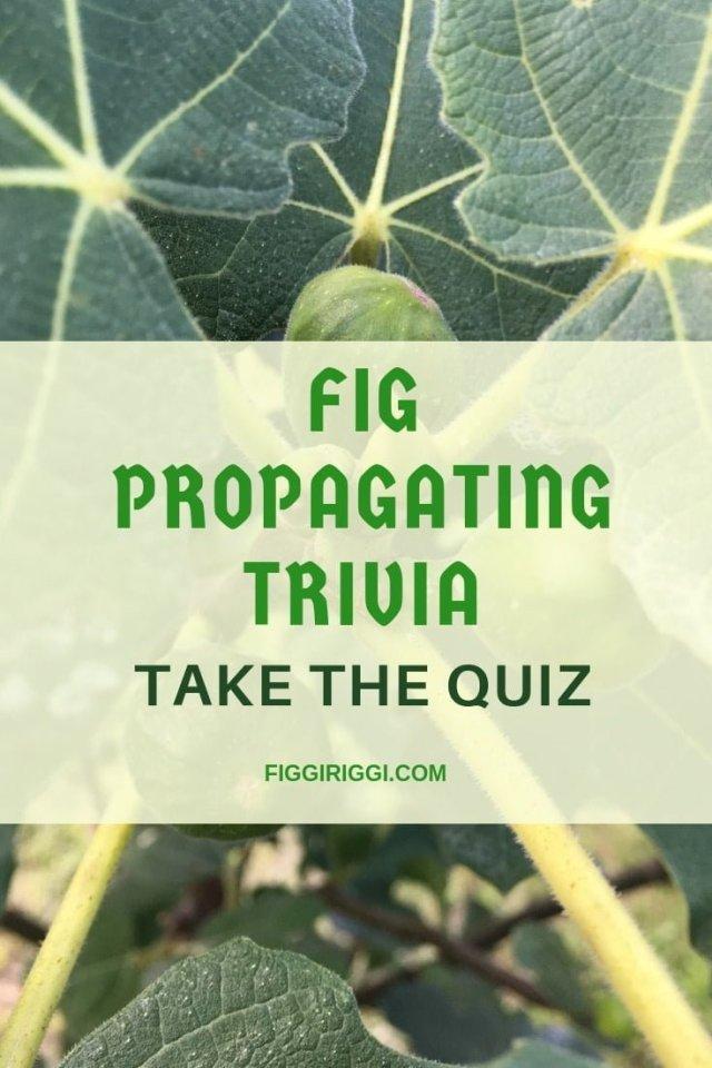 Fig propagating trivia photo