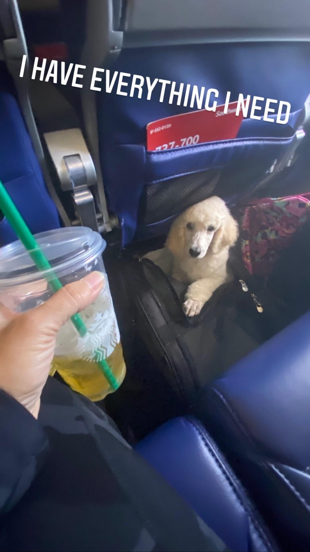 Flight Pet Nanny transporting a Poodle Puppy