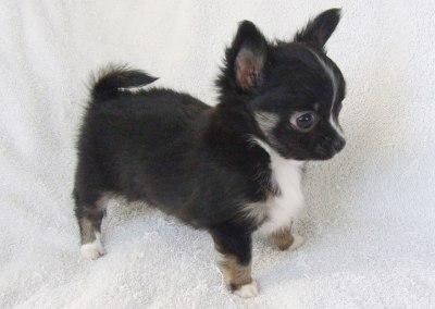 Kiki - 7 weeks old - Weight 1 lb 9 ozs