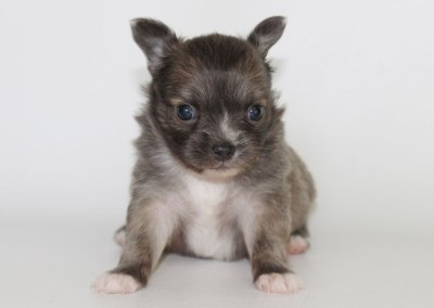 Stoli - 4 Weeks Old – Weight 1 lb 5 1/2 ozs