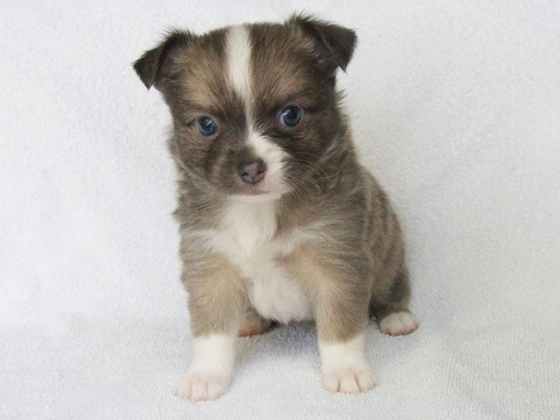 Bleu - 5 Weeks Old - Weight 1 lb 11 ozs