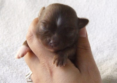 Kahlua - 2 Weeks Old - Weight 7 ozs