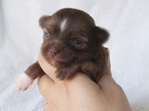 Kahlua - 3 Weeks Old - Weight 10 ozs