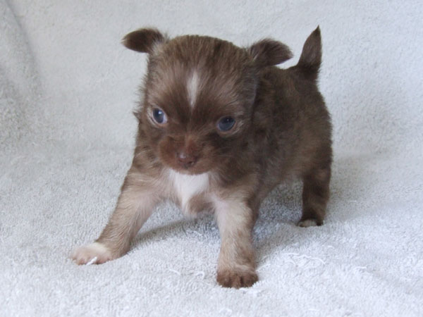 Kahlua - 5 Weeks Old - Weight 15 1/4 ozs