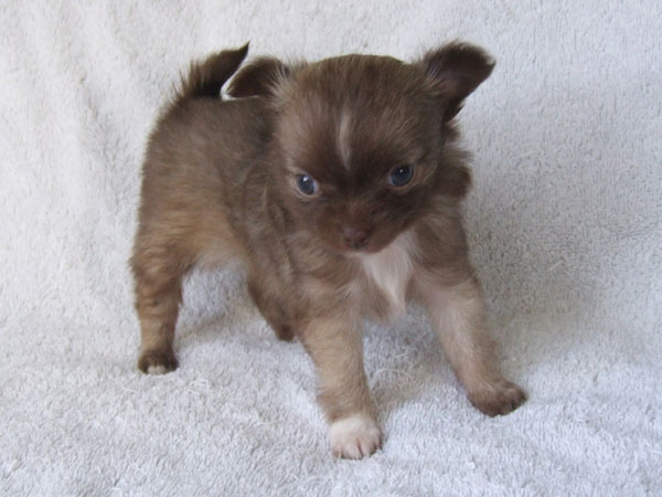 Kahlua - 6 Weeks Old - Weight 1 lb 1/4 oz