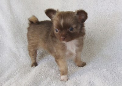 Kahlua - 7 Weeks Old - Weight 1 lb 2 ozs