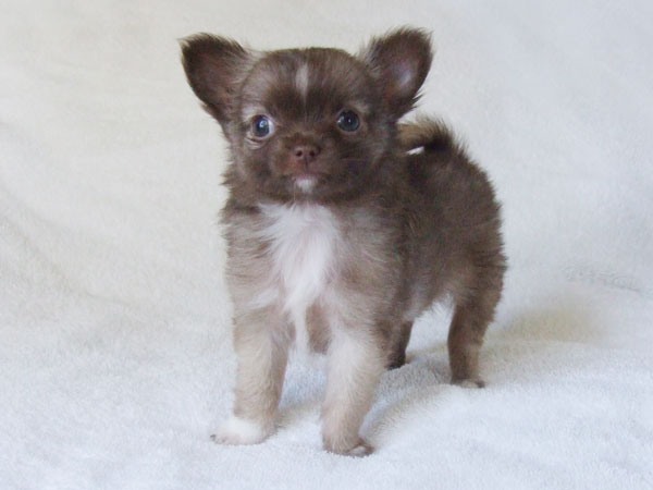 Kahlua - 8 Weeks Old - Weight 1 lb 3 ozs