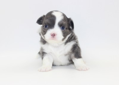 Smurf - 4 Weeks Old- Weight 1lb 7.7 ozs