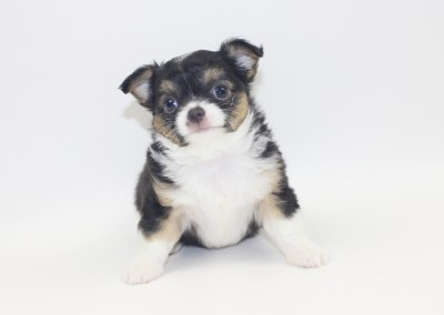 Bubbles - 7 Week Old- Weight 2 lbs 6 ozs