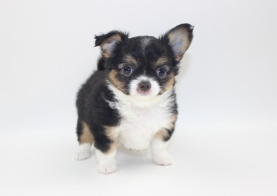 Bubbles - 8 Week Old- Weight 2 lbs 11 ozs