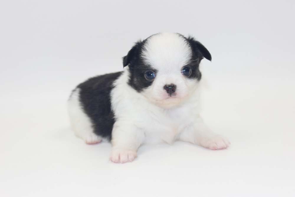 Vamp - 4 Weeks Old - Weight 1 lb 1.5 ozs