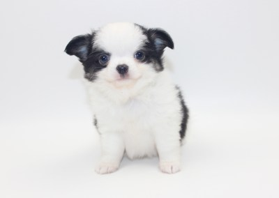 Vamp - 6 Weeks Old - Weight 1 lb 8.4 ozs