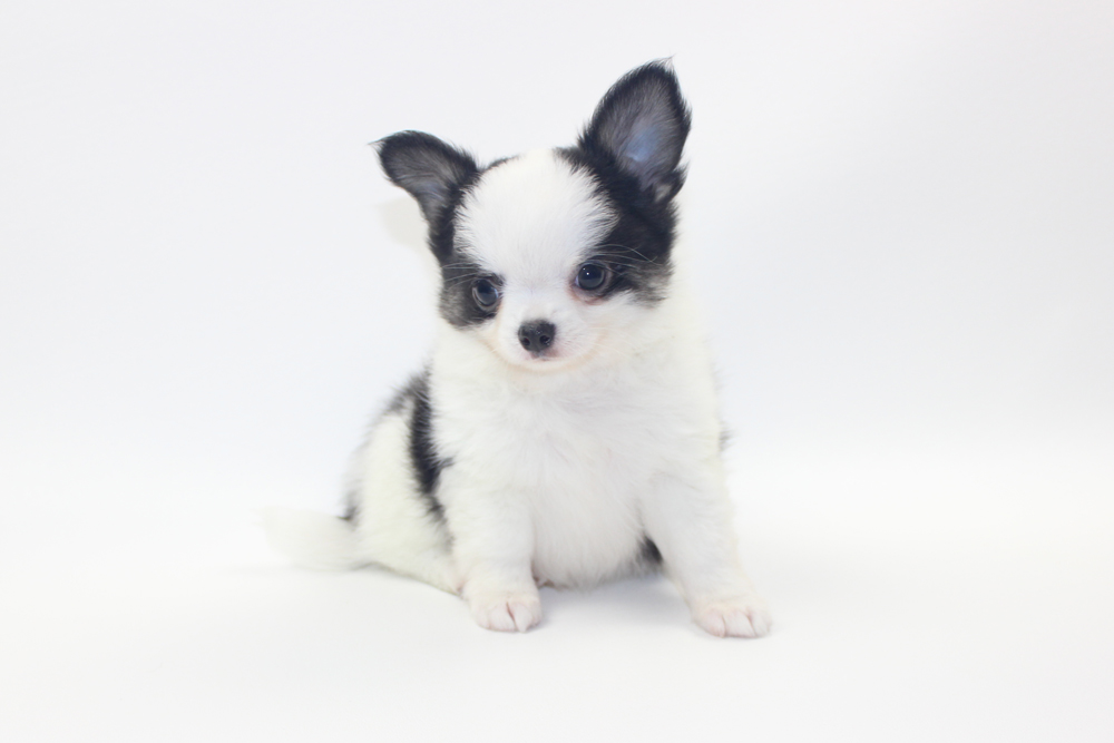 Vamp - 8 Weeks Old - Weight 1 lb 14.5 ozs