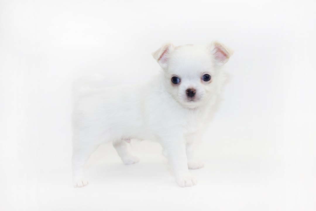 White Sangria - 5 Weeks Old - 1 lb 14.4 ozs.