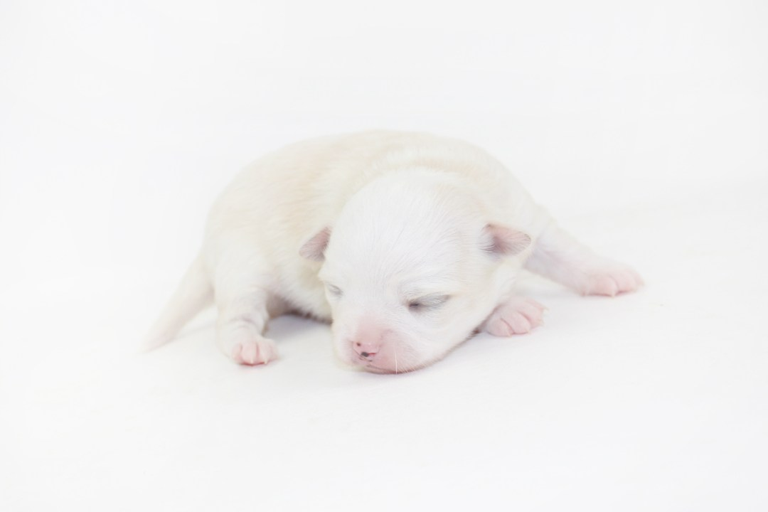 Cottontail Martini - 1 Week Old Chihuahua Puppy - 13.2 ozs.