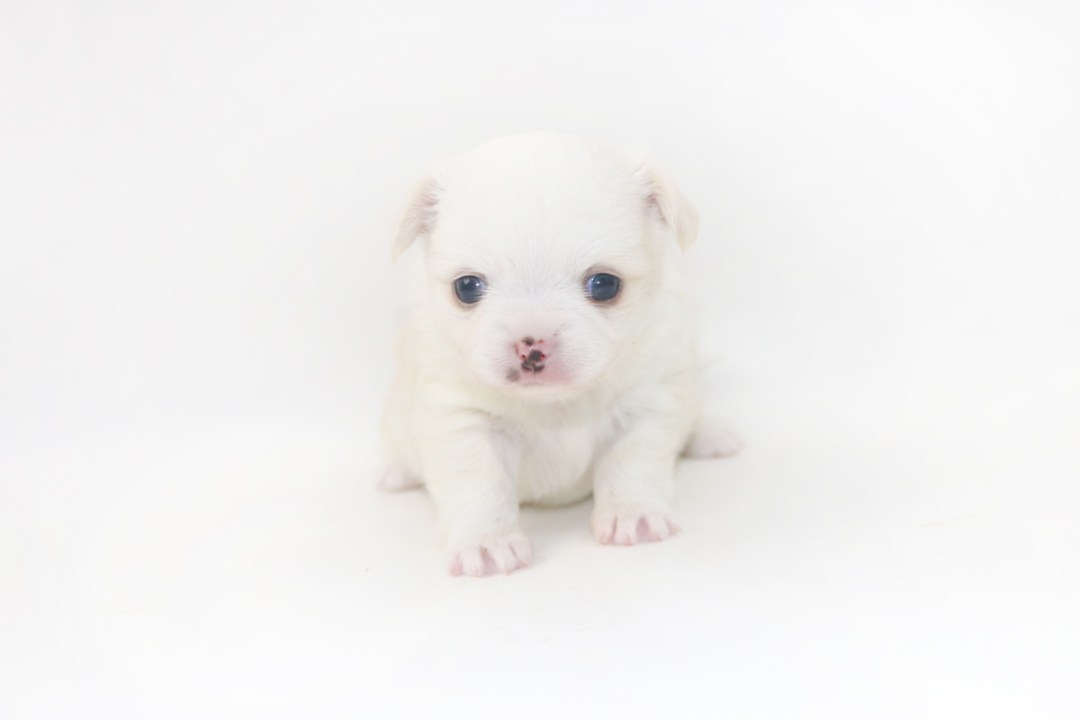 Cottontail Martini - 3 Week Old Chihuahua Puppy - 1 lb 5 ozs