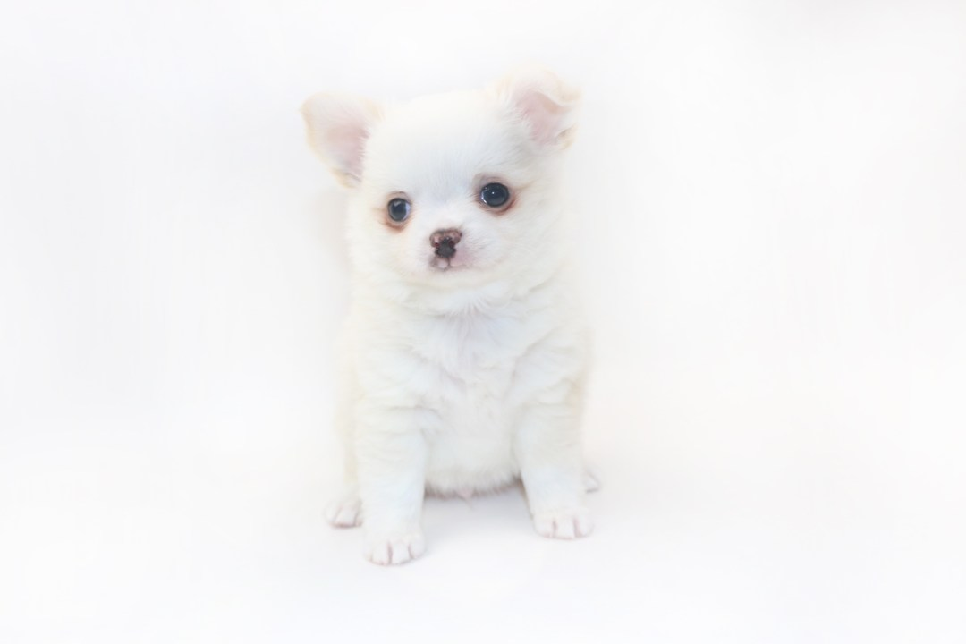 Cottontail Martini - 8 Week Old Chihuahua Puppy - 2 lb 7 ozs