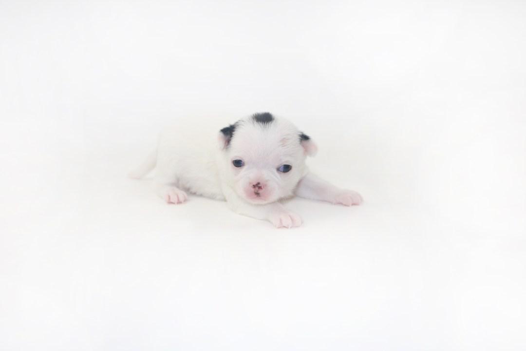 Hippity Hoppity - 2 Week Old Chihuahua Puppy- 13 ozs.