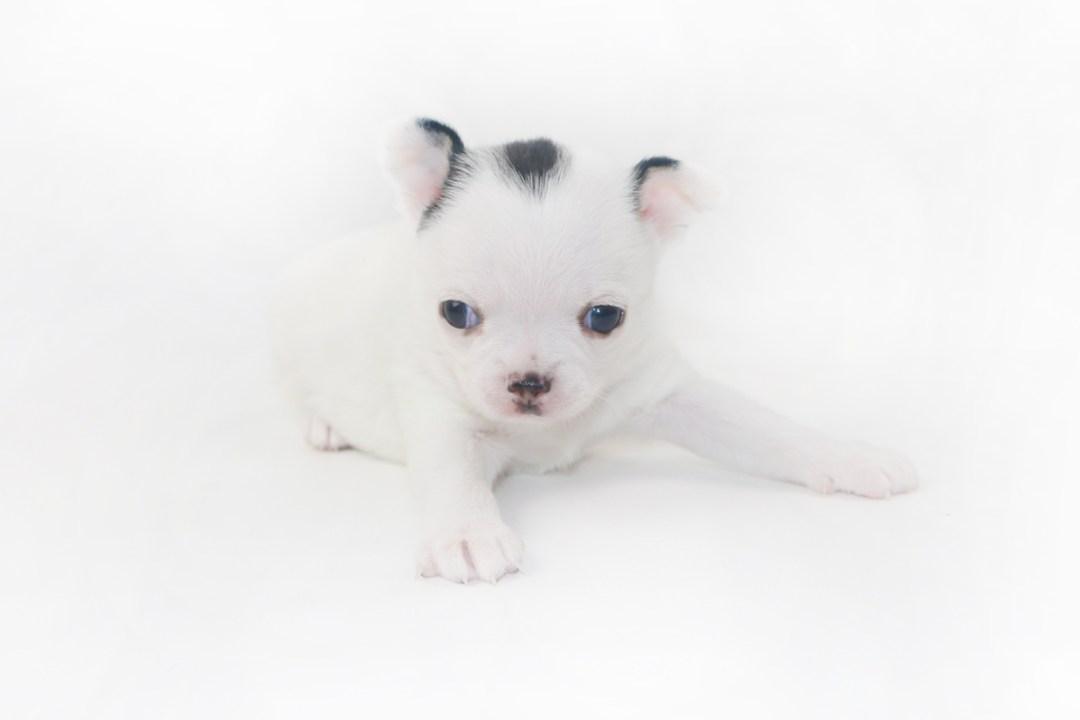Hippity Hoppity - 4 Week Old Chihuahua Puppy- 1 lb 9 ozs.