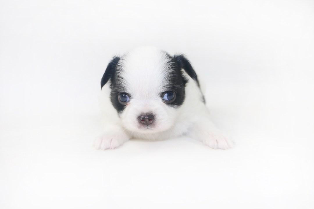 Boozy Bunny - 3 Week Old Chihuahua Puppy - 1 lb 2.5 ozs.