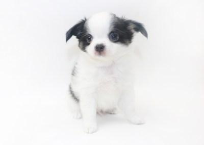 Boozy Bunny - 8 Week Old Chihuahua Puppy - 2 lbs 6 ozs.