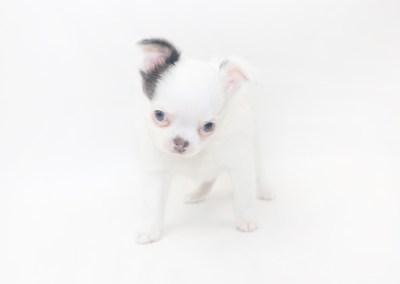Naughty Peeps - 7 Week Old Chihuahua Puppy - 2lb 1 oz