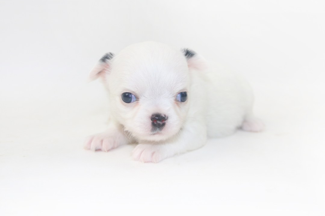 Jelly Bean-itini - 3 Week Old Chihuahua Puppy - 12 ozs.