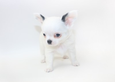 Jelly Bean-itini - 7 Week Old Chihuahua Puppy - 1 lb 9 ozs.