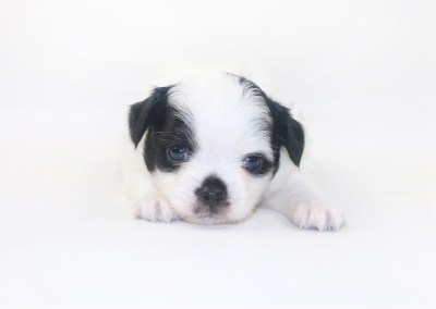 Speckled Egg Mimosa - 3 Week Old Chihuahua Puppy - 1 lb 5 ozs.
