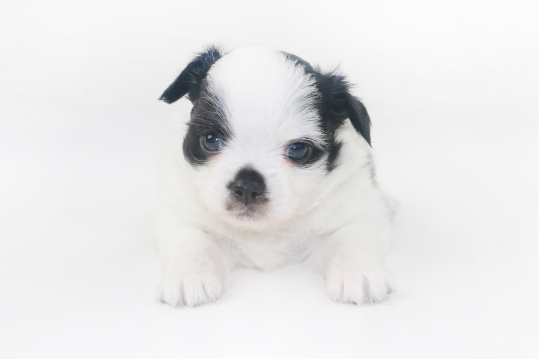Speckled Egg Mimosa - 4 Week Old Chihuahua Puppy - 1 lb 9 ozs.