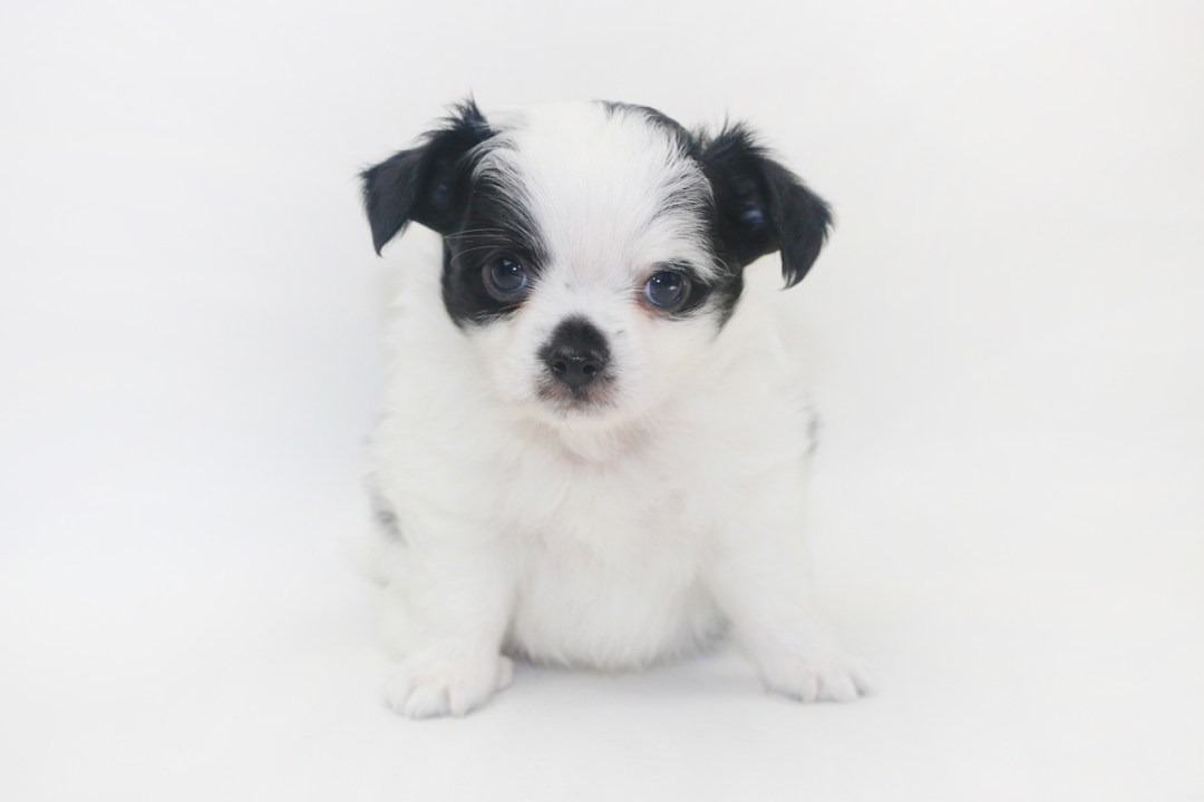 Speckled Egg Mimosa - 6 Week Old Chihuahua Puppy - 2 lbs 1 oz.