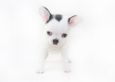 Hippity Hoppity - 7 Week Old Chihuahua Puppy- 2 lb 6 oz