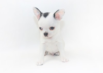 Hippity Hoppity - 8 Week Old Chihuahua Puppy- 2 lb 10 oz