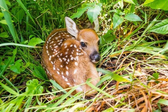 You may encounter a variety of newborn animals this spring, such as fawns. Leave wildlife wild, as helping them could do more harm than good.